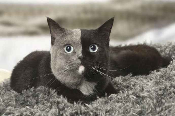 two-faced-cat
